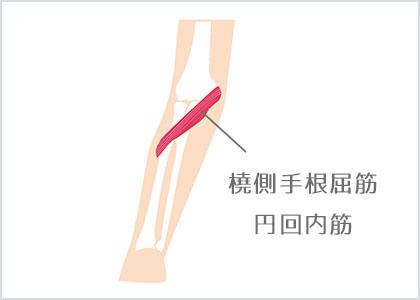 部位イラスト:橈側⼿根屈筋・円回内筋