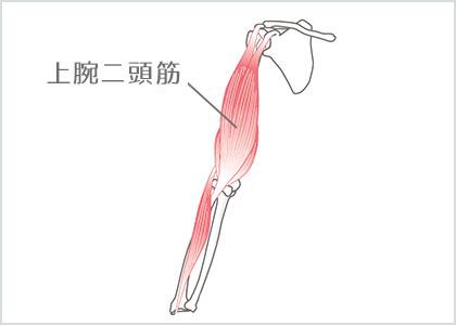 部位イラスト:上腕⼆頭筋