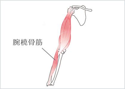 部位イラスト:腕橈⾻筋