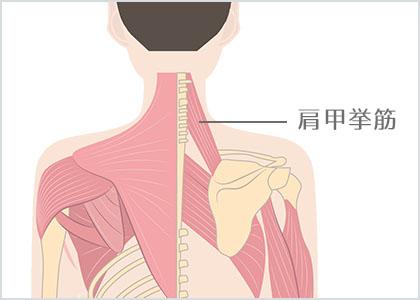 肩甲挙筋3