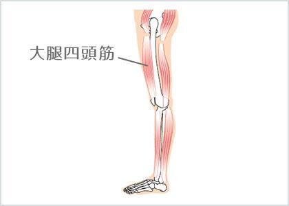 ⼤腿四頭筋